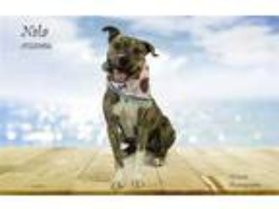 Adopt Dog a Brindle - with White Boxer / Mixed dog in Thousand Palms