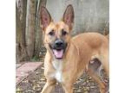Adopt Baloo a Tan/Yellow/Fawn Shepherd (Unknown Type) / Mixed dog in Sunnyvale