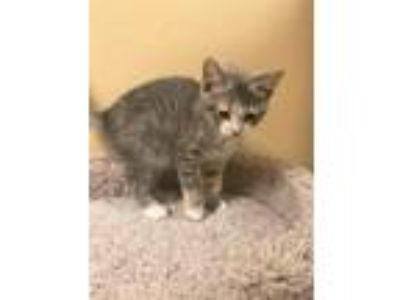 Adopt Drizzle a Calico or Dilute Calico Domestic Shorthair (short coat) cat in