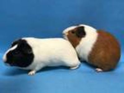 Adopt George a White Guinea Pig / Mixed small animal in Golden Valley