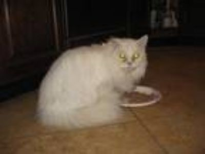 Adopt Queenie (aka Royal Majesty) a White (Mostly) Persian / Mixed (long coat)