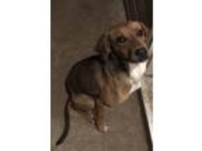 Adopt Miss Kitty a Brown/Chocolate English (Redtick) Coonhound / Labrador
