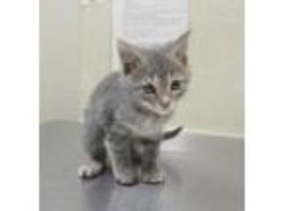 Adopt Mango a Gray or Blue Domestic Shorthair / Domestic Shorthair / Mixed cat