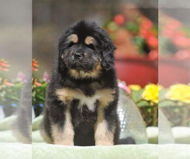 Tibetan Mastiff PUPPY FOR SALE ADN-126800 - Tibetan Mastiff