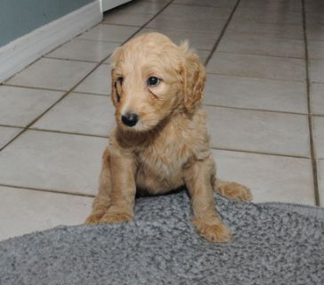 Goldendoodle PUPPY FOR SALE ADN-96476 - Goldendoodle Puppies Ready for their Forever Homes