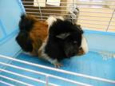 Adopt TOKOYO a Black Guinea Pig / Mixed small animal in Vero Beach