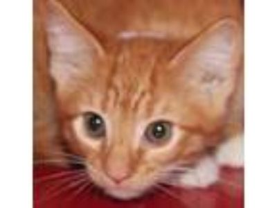 Adopt Paul a Orange or Red Domestic Shorthair / Domestic Shorthair / Mixed cat