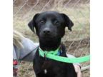 Adopt Charlie- The Lab a Labrador Retriever dog in Bowmansville, NY (25296806)