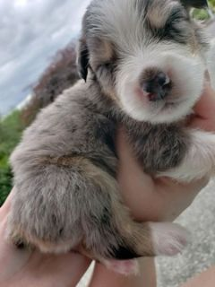 Australian Shepherd PUPPY FOR SALE ADN-87499 - Australian Shepherd Puppies