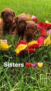 Poodle (Miniature) PUPPY FOR SALE ADN-87442 - AKC Certified Red Miniature Poodle Puppies