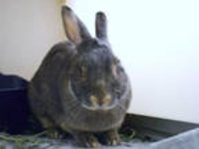 Adopt JANET a Grey/Silver Other/Unknown / Mixed rabbit in Denver, CO (25883164)