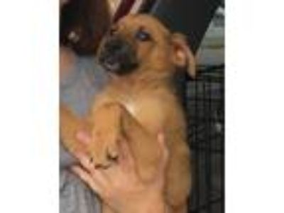 Adopt Andy a Tan/Yellow/Fawn - with Black German Shepherd Dog / Mixed dog in