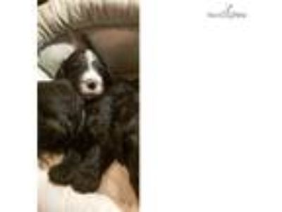 SOLD -Tyrion the Sheepadoodle
