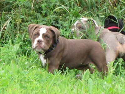Olde English Bulldogge PUPPY FOR SALE ADN-89244 - Chocolate tri female Olde English Bulldogge