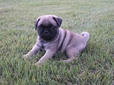 Pug PUPPY FOR SALE ADN-95180 - AKC Pixie M3