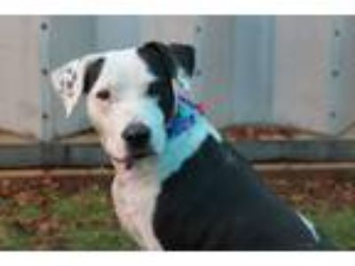 Adopt Brandy a White - with Black Terrier (Unknown Type, Medium) / Mixed Breed