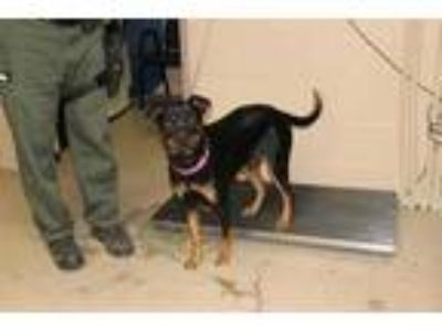 Adopt Janna a Black Rottweiler / Mixed dog in Albany, OR (23802402)