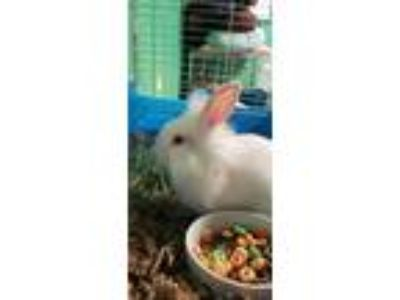 Adopt Baby Bunnies a White Rex / Mixed (short coat) rabbit in Pottsville