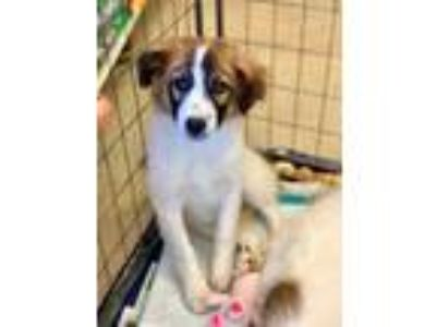 Adopt Gilly is pending adoption a Great Pyrenees, Terrier