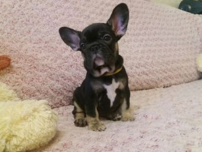French Bulldog PUPPY FOR SALE ADN-79255 - Black Tan Frenchie