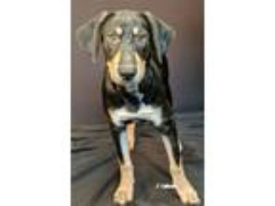Adopt Heather a Black - with Tan, Yellow or Fawn Hound (Unknown Type) / Shepherd