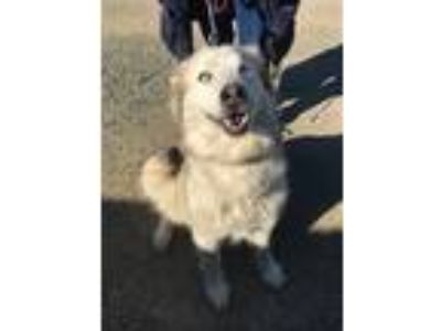 Adopt AURORA a Gray/Silver/Salt & Pepper - with White Husky / Mixed dog in