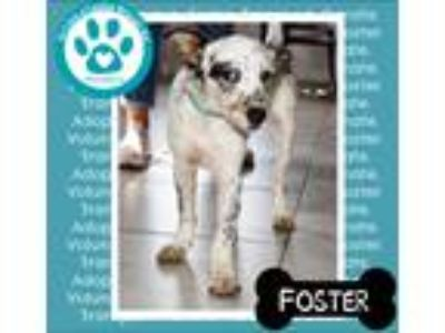 Adopt Foster a White - with Black Australian Shepherd / Mixed dog in Kimberton