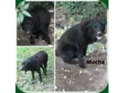 Adopt MOCHA a Black Labrador Retriever / Mixed dog in Malvern, AR (22138095)