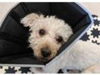 Adopt PACO a White Bichon Frise / Mixed dog in Murray, UT (25580477)