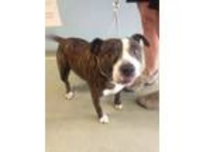 Adopt Lucky Charm a Pit Bull Terrier, Mixed Breed