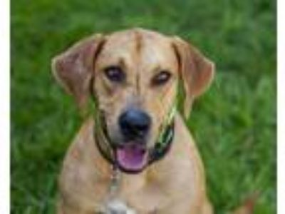 Adopt BUTCH a Labrador Retriever, Mixed Breed