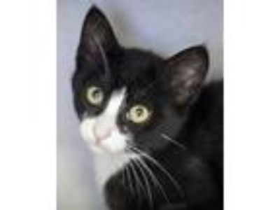 Adopt Miso a Black & White or Tuxedo Domestic Shorthair (short coat) cat in St