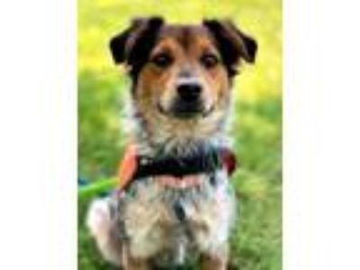 Adopt Mabel TX a Tricolor (Tan/Brown & Black & White) Cattle Dog / Spaniel