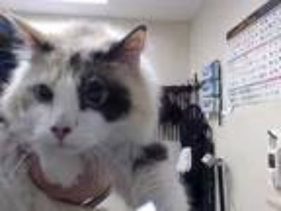 Adopt KITTY a White (Mostly) Domestic Mediumhair / Mixed (medium coat) cat in
