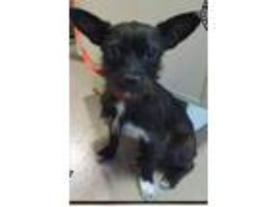 Adopt Molly CJ in AR a Terrier