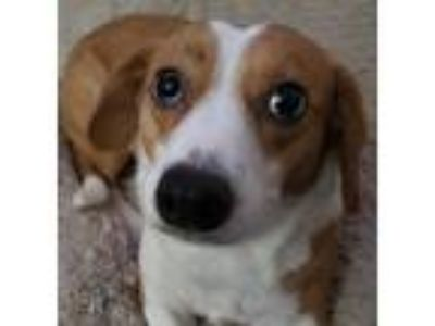 Adopt Odie a White - with Red, Golden, Orange or Chestnut Beagle dog in Tacoma