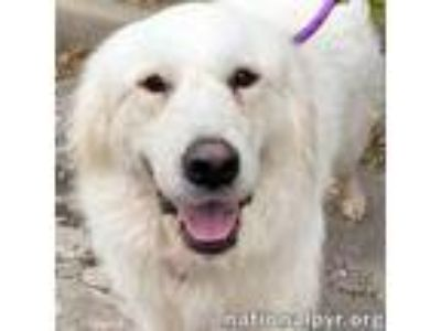 Adopt Betzy in OK - Easy-Going Gal a Great Pyrenees