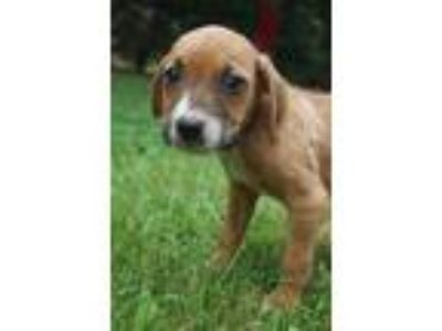 Adopt Baxter a Tan/Yellow/Fawn - with White Boxer / Beagle / Mixed dog in West