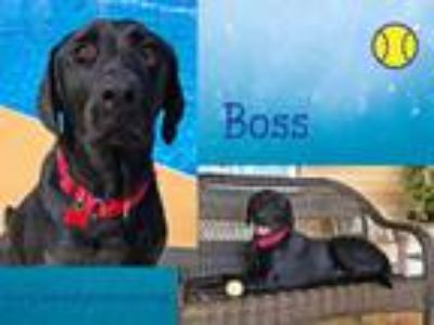 Adopt Boss a Labrador Retriever, Black Labrador Retriever