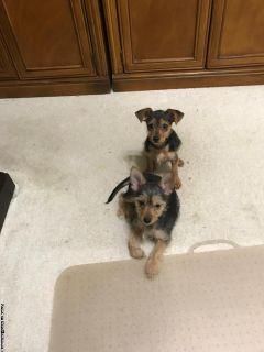 2 female puppies! Chihuahua Yorkie mix!