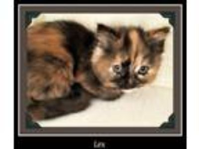 Adopt Lex a Domestic Short Hair