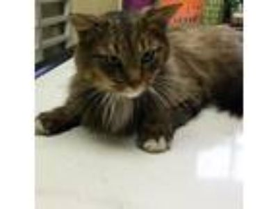 Adopt Splinter a Brown or Chocolate Domestic Longhair cat in South Haven