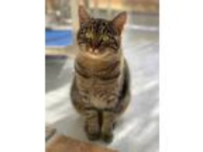 Adopt Darla a Gray or Blue Domestic Shorthair / Domestic Shorthair / Mixed cat
