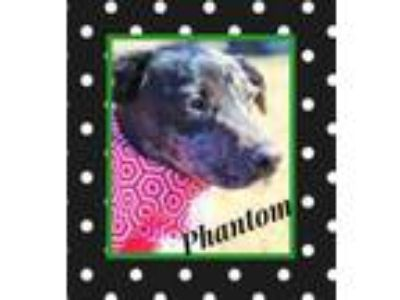 Adopt Phantom a Catahoula Leopard Dog