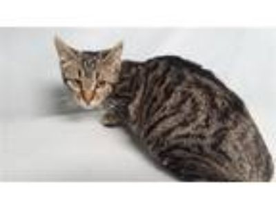 Adopt Hamster a Domestic Shorthair / Mixed cat in Staten Island, NY (25535433)