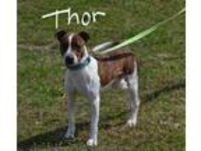 Adopt Thor a Brown/Chocolate - with White Labrador Retriever / Mixed dog in