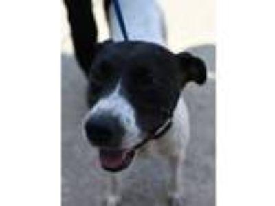 Adopt Freddie Mercury a White - with Black English Pointer / Mixed dog in