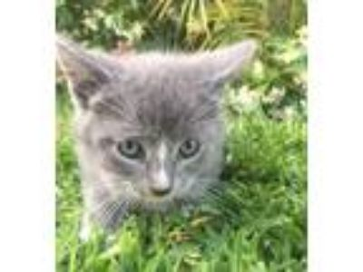 Adopt Kitten#10 a Domestic Short Hair