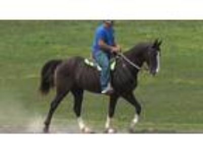 Jerry is a classy super gaited naturally smooth experienced trail horse