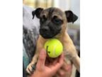 Adopt Wally a Pug, Jack Russell Terrier